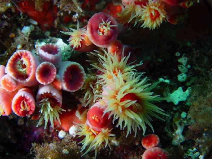Wild colonies with polyps extended.