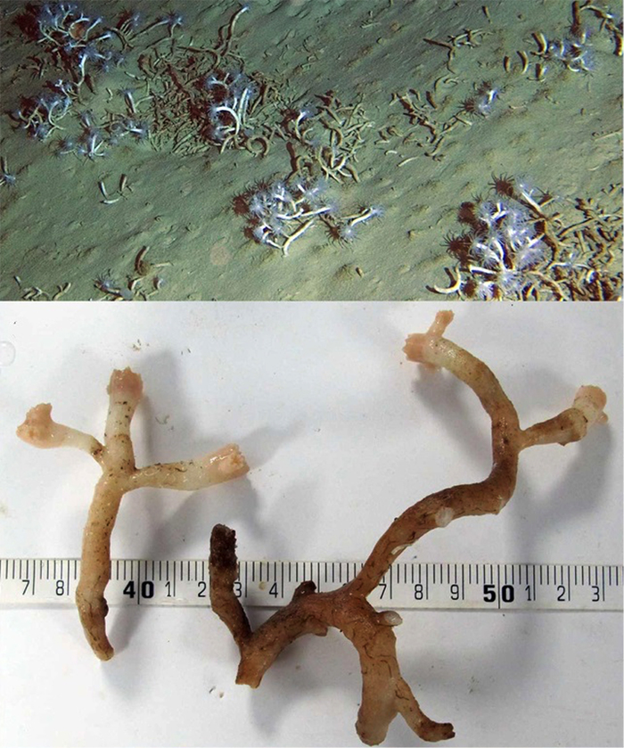 Eguchipsammia fistula, shown living in its natural deep-water habitat— buried and unattached to rock. Note the white tissue and elongate skeleton. Photos by Roder et al, 2013.