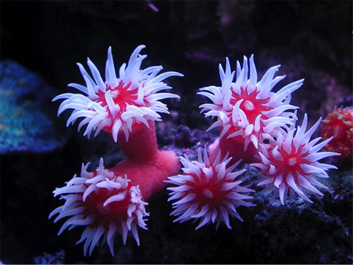 Some dendrophylliids are completely inscrutable. Dendrophyllia maybe? Photo by yukikaze.