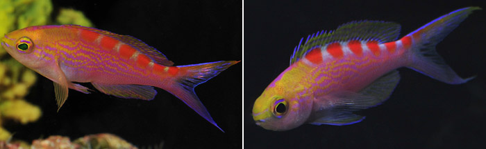 Red Saddled Anthias- Pseudanthias flavoguttatus (Katayama & Masuda 1980) Left, female. Right, male.