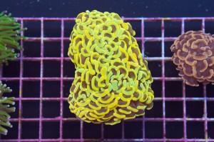 reefs.comCherryHammer2