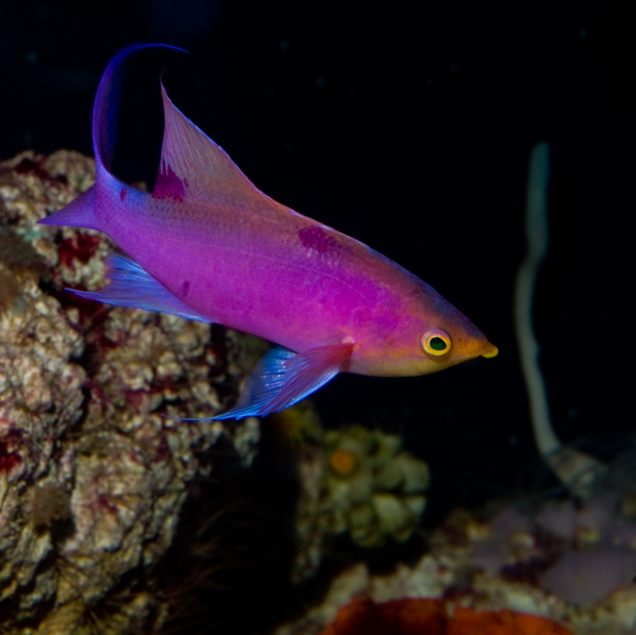 Pseudanthias tuka is a really beautiful, hard to keep fish. This one has been in captivity for over 4 years. The guy who keeps these fish alive is probably worth getting advice from (at least about these fish!) Photo by Rich Ross.