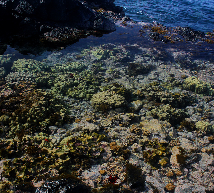 A Hawaiian tidepool packed with many stony corals.