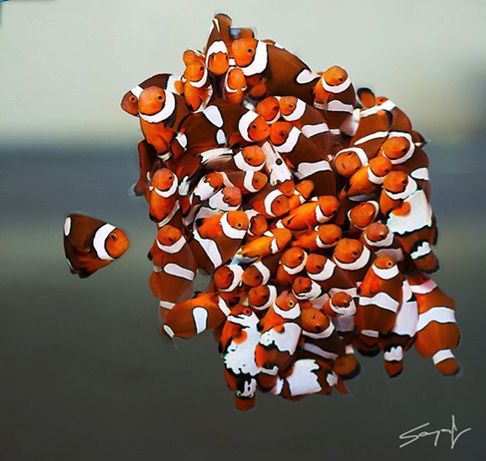 Designer clownfish are nearly all captive bred and as such are good for beginning hobbyists because wild reefs are not impacted by the learning curve. Photo by Sanjay Joshi.