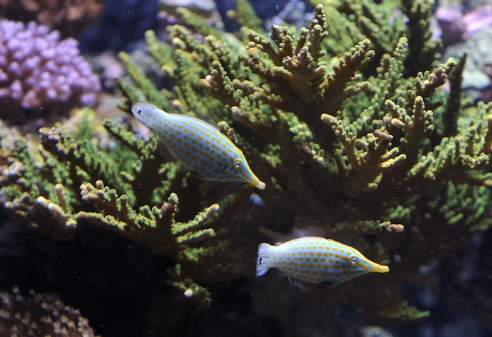 Some guy told a friend of mine these fish were reef safe.