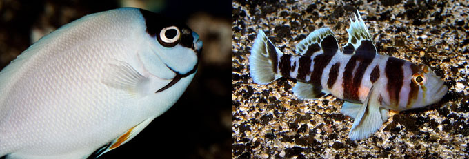 Left, Genicanthius personatus at the Waikiki Aquarium, 18 years and counting. Right, Priolepis nocturna - 5 years and counting at the Waikiki Aquarium. Photo: J. C. Delbeek