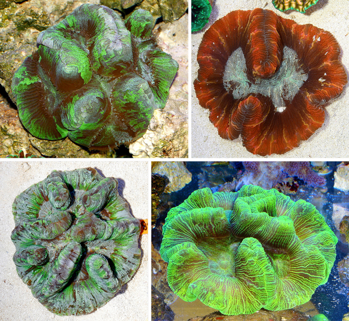 Here are a few examples of what used to be called Wellsophyllia radiata, but is now know to be a particular form of Trachyphyllia geoffroyi.