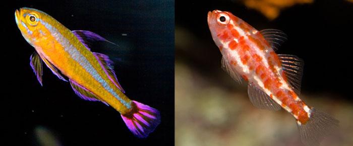 Left:Trimma tevegae Right:Trimma rubromaculatum Both 20 months at the Waikiki Aquarium. Photo: J. C. Delbeek