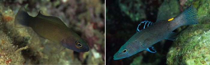 Left: Pseudochromis lugubris. Right: Belonoperca chabanaudi.