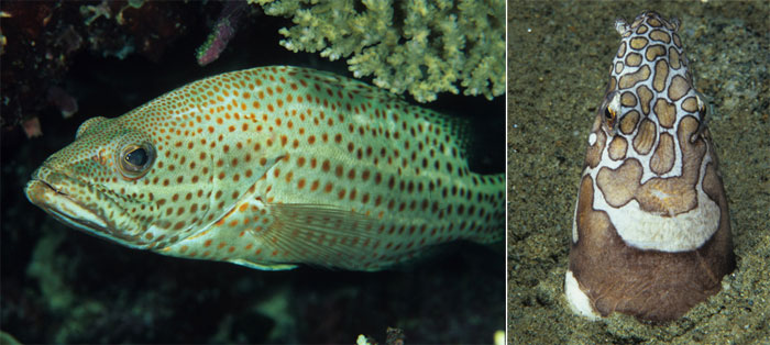 Left: Anyperodon leucogrammicus; right: Ophichthus bonaparti.