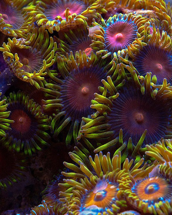 Z. sansibaricus and Z. sociatus are some of the most common Zoanthids kept in the hobby, they also may be the most diverse in color morphology. Photo by Sanjay Joshi.