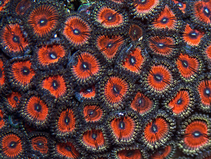 Armor of God, a popular color variety of Z pulchellus or Z. vietnamensis. Photo by Sanjay Joshi.