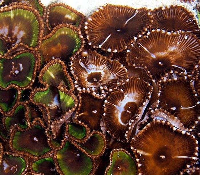 Palythoa grandis may not be the most colorful zoanthid but it can be a great addition to a reef aquarium. Photo by Sanjay Joshi.