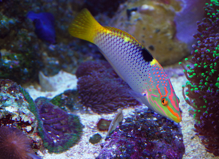 Marble wrasse.
