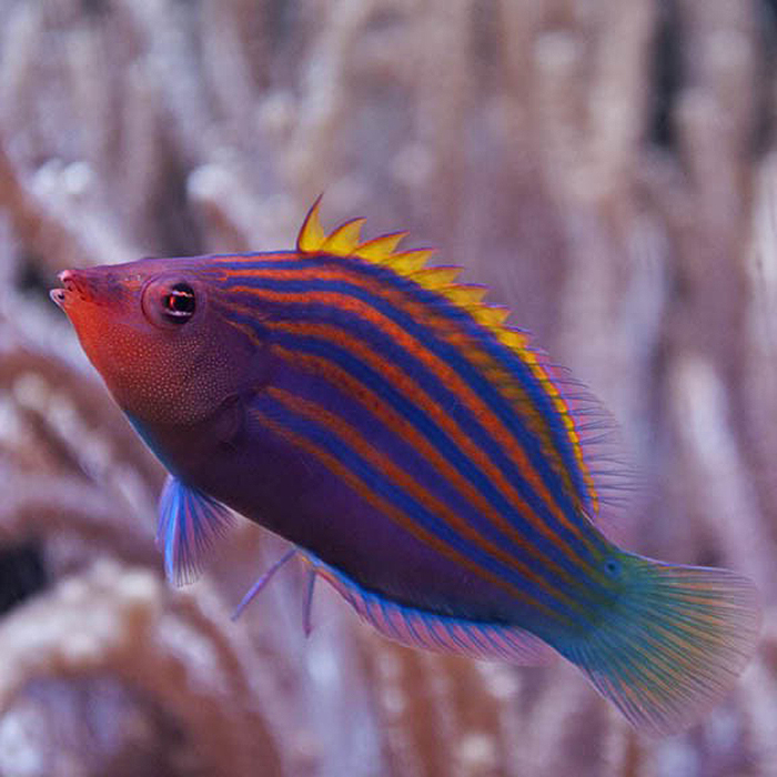 Many types of fish, such as this six line wrasse, feed on flatworms.