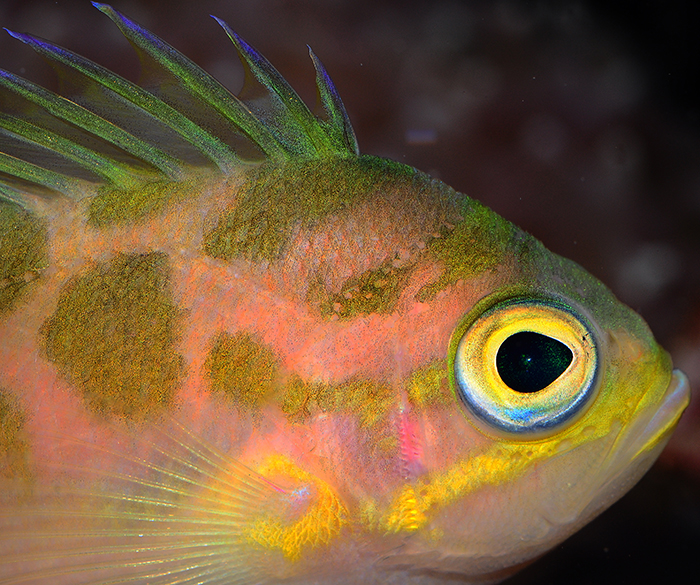 Odontanthias borbonius, showing its iridescent skin. Photo by Tim Wijgerde.