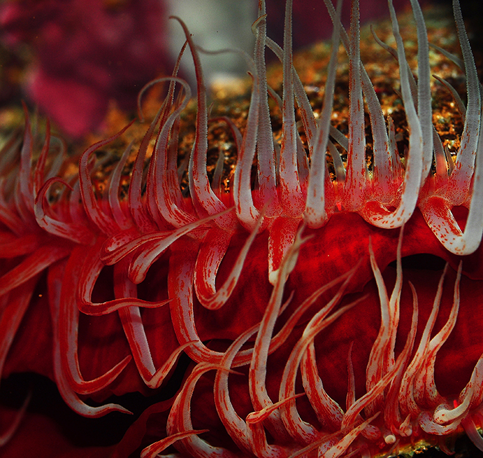 Ctenoides scabra, showing its flaming red mantle and tentacles. Photo by Tim Wijgerde.