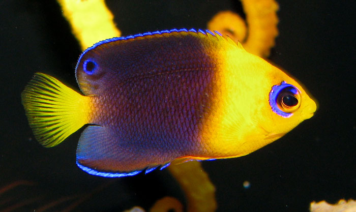 Juvenile fish such as this young Joculator angelfish cannot be expected to spawn until they reach maturity.