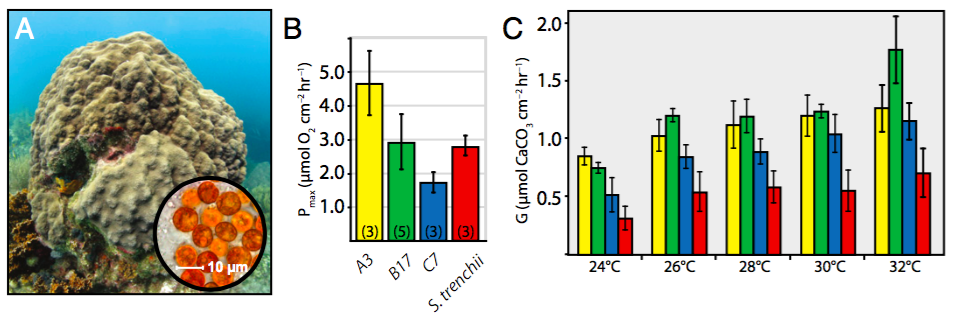 Figure 3 of Tye et al. 2015, illustrating the relatively reduced rates of photosynthesis and calcification in Orbicella spp. (Formerly Montastraea spp.) infected by S. trenchii.