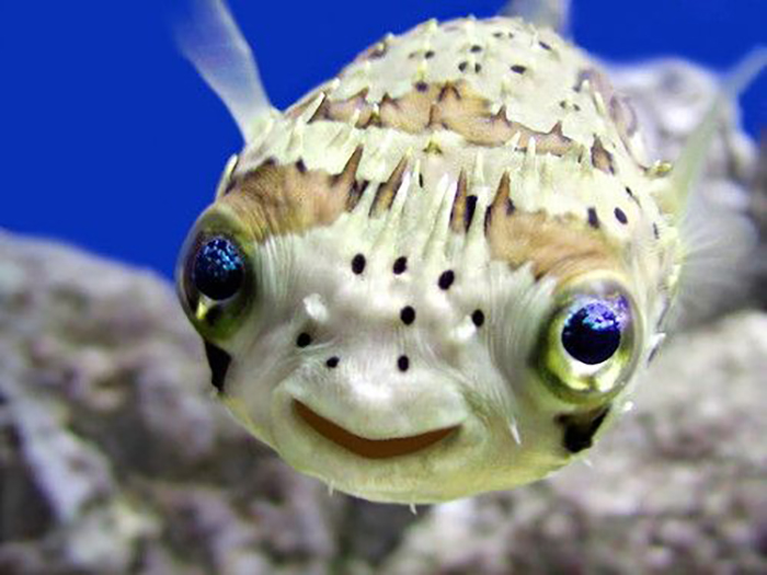 Most people think this fish is happy because it looks like it is smiling. However, this fish always looks like it is smiling, so how can we possibly tell when it is not happy? Photo by Google Search.