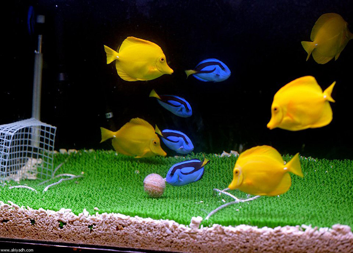 These fish look cute on their underwater soccer field, but is there any way to deterring if such activity is good for them? Photo by Google Search.