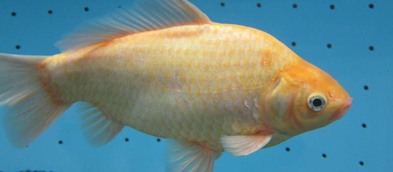 goldfish-800x351
