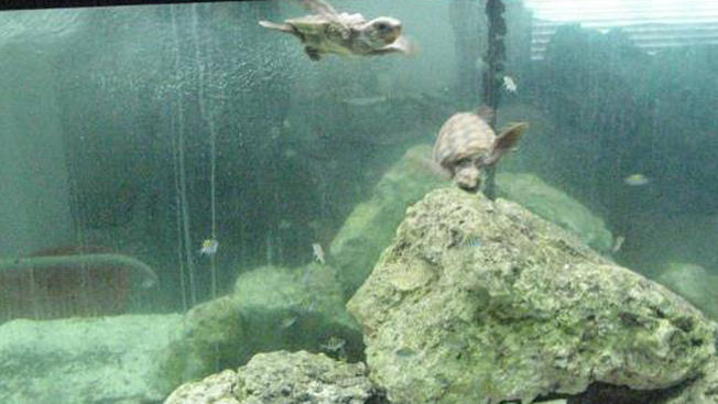 071515+loggerhead+turtle+babies+in+tank+jupiter