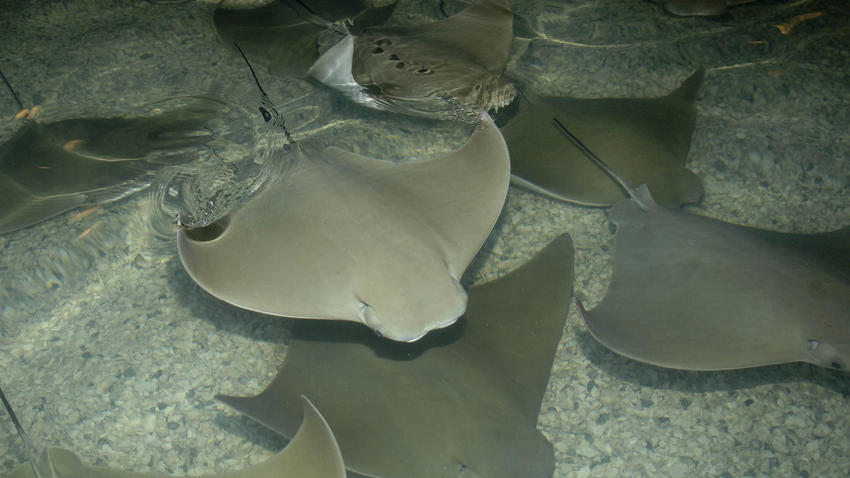 chi-ct-cownose-ray-photo-20150712