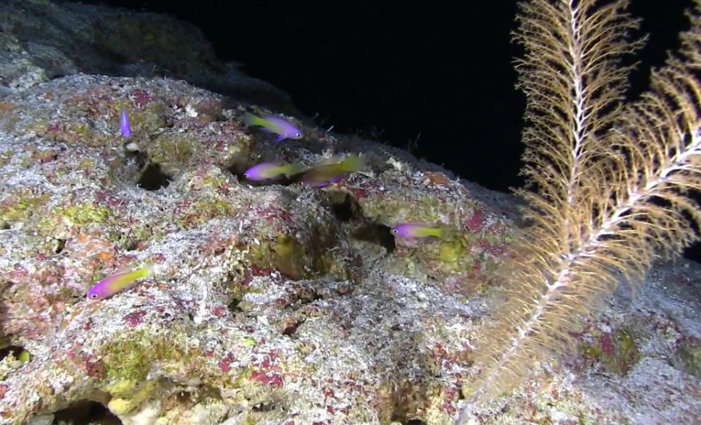 An undescribed Grammatonotus from 490ft, Pohnpei