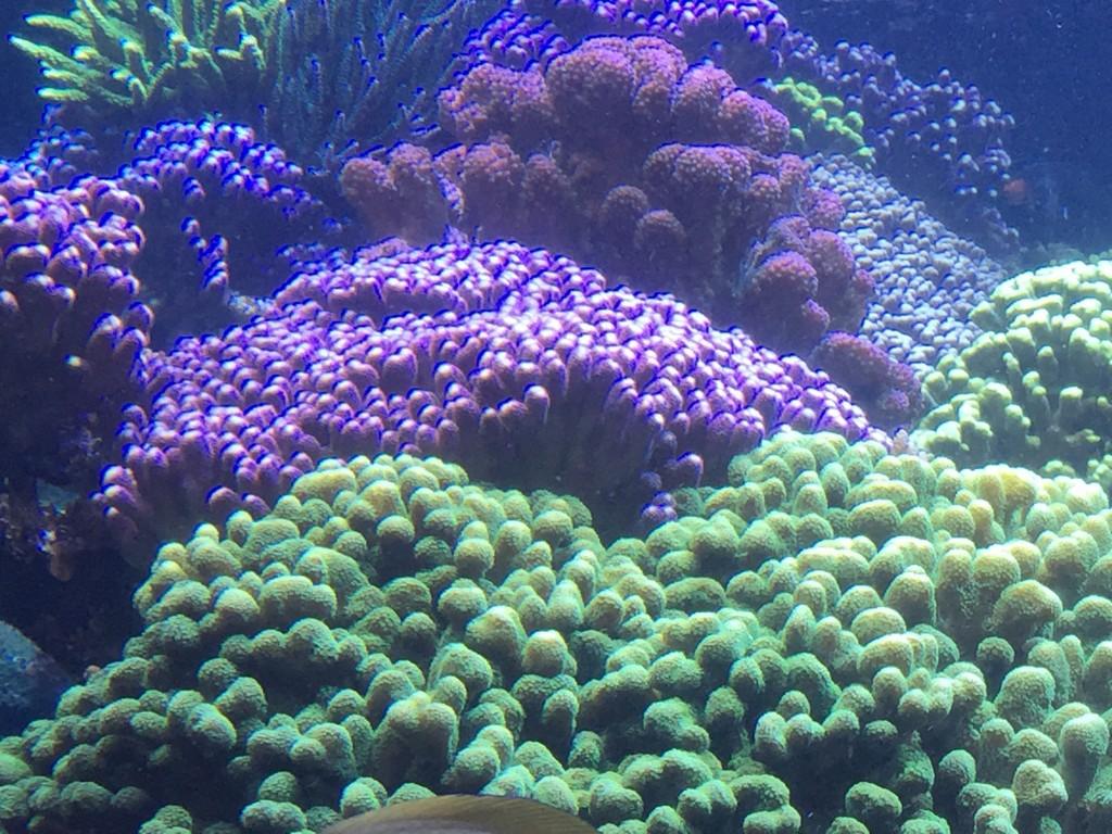 A beautiful combination of colorful SPS in Joe Yaiullo's 20,000 gallon aquarium