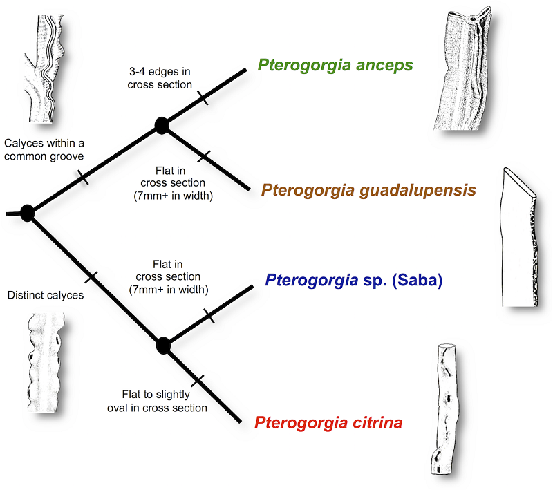This is more of an identification guide than a phylogenetic tree. Credit: Wirshing & Baker, 2015