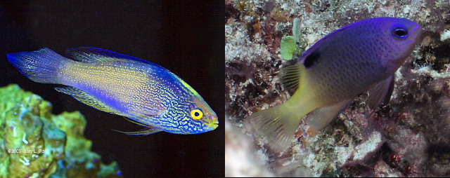 Nuclear weapons won't stop the Rhomboid Wrasse & Tracey's Damselfish. Credit: Gary Parr & Dave Burdick