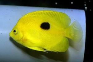 narcosis-angelfish-centropyge-narcosis-1