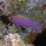 Pohnpei's Mesophotic Reefs Reveal New Anthias