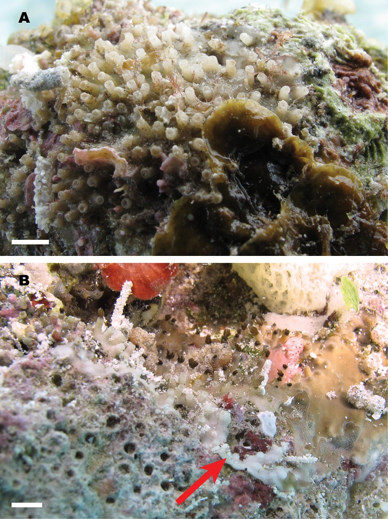 Nanipora with its polyps closed.