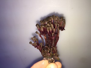 Colony grown from single polyp frag
