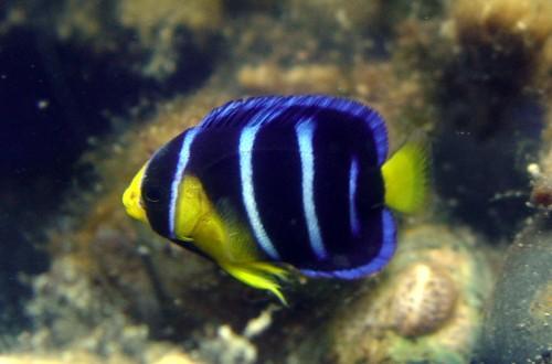 Blue Angelfish, Holacanthus bermudensis