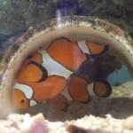 Clownfish Breeding at the SCCC Marine Lab