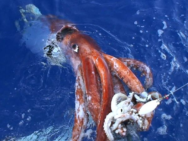 giant-squid - reefs