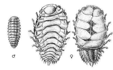 Male and female bopyrids. Credit: Sars, 1899