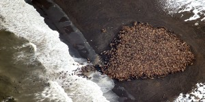 35000-walruses-are-all-crowded-together-in-one-spot--and-it-signals-something-ominous