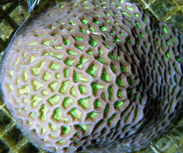 Coelastrea aspera - reefs