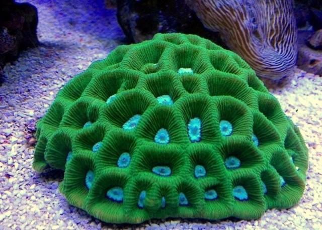 Coelastrea palauensis - reefs