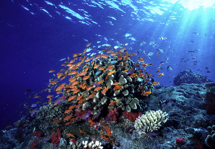 Anthias under sunbeams. Swarms of anthias fish shelter near coral outcroppings and feed in the passing current. Fiji