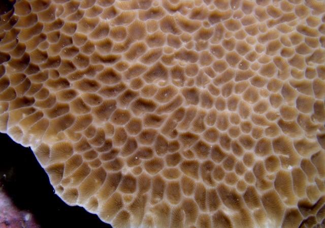 Gardineroseris planulata - reefs