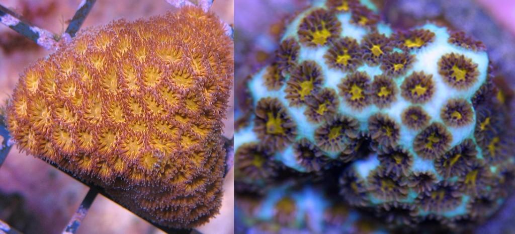 Leptastraea pruinosa & purpurea - reefs