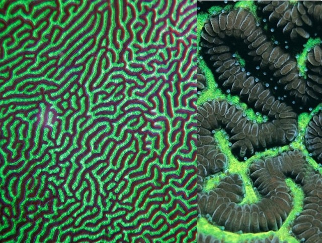 Leptoria phrygia - reefs