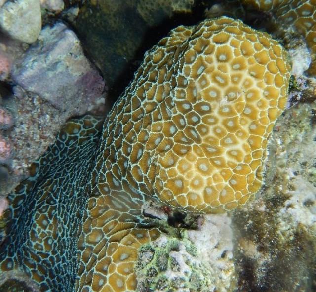 Paramontastraea peresi - reefs