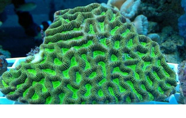 Platygyra australensis 2 - reefs