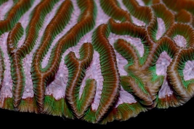 Platygyra australensis - reefs